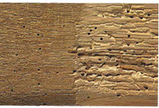 Powder Post Beetle attack on hardwood